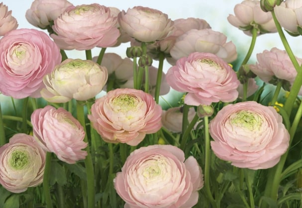 Fototapete Gentle Rose
