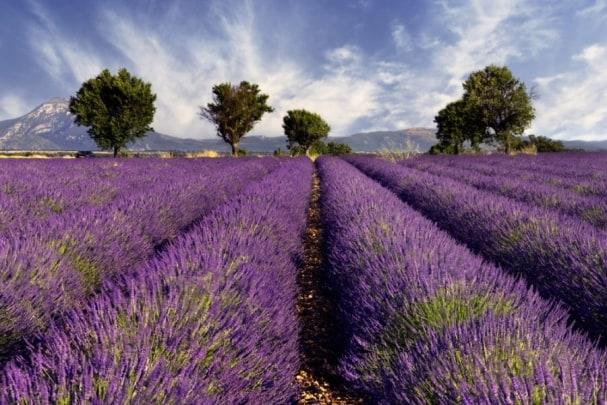 Tapete Lavender 01