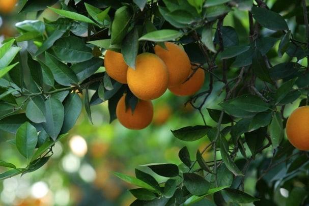 Tapete Mandarine