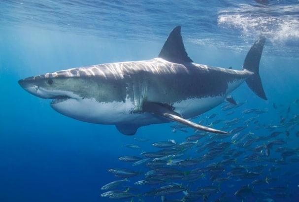 Tapete White Shark