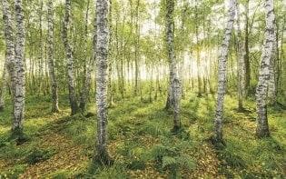 Fototapete Birch Trees
