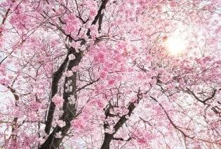 Fototapete Bloom