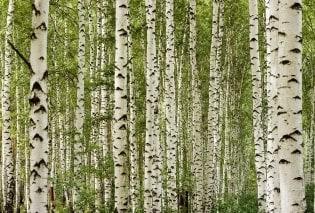 Tapete Birchwood