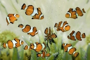 Tapete Clownfish