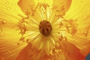 Tapete Flower Sun