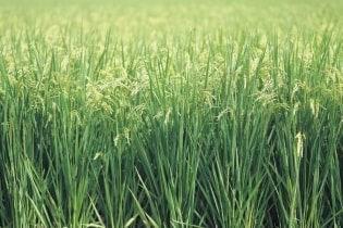 Tapete Grass