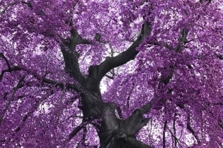 Tapete Purple Tree
